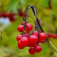 Осенние ягоды :: Милешкин Владимир Алексеевич