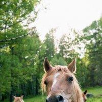 морда лошади :: Наталья Буданова