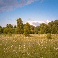 Ромашковое поле :: Лариса Димитрова