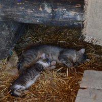 Эти заМУРчательные кошки... :: Ирина Рачкова