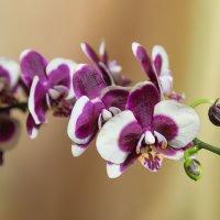 Орхидея фаленопсис. :: Татьяна Калинкина