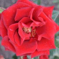Красный Бархат Розы :: Tatyana Kuchina