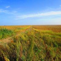 Кукурузные поля. :: Татьяна ❁
