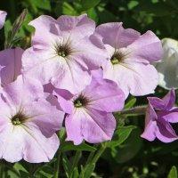 В моём саду петунии цветут :: Татьяна Смоляниченко