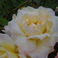 Розы октября....... :: Galina Dzubina