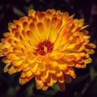 Чудесный цветок. :: Виктор Иванович