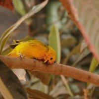 Птицы Перу. Амазония :: Svetlana Plasentsiia