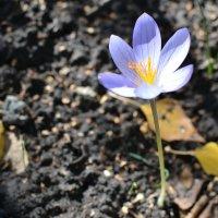 осенью весенние цветы :: Ольга Рыбакова