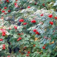Осенний наряд рябины... :: Тамара (st.tamara)