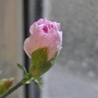 За окном снег,  а у нас Гвоздики. :: Tatyana Kuchina