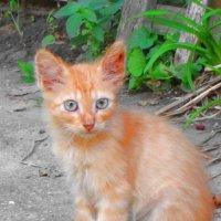 Очень рыжий котенок :: Людмила Монахова