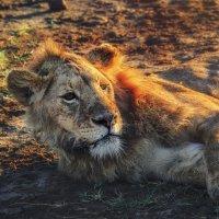 Владыка прайда в лучах закатного солнца...Танзания! :: Александр Вивчарик