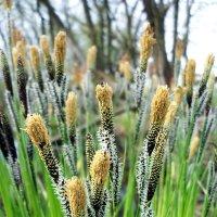 Цветет болотная трава :: Тамара Лисицына