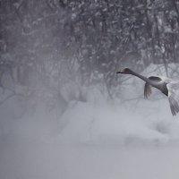 Как лебеди хороши, в водах зимнего залива 2 :: Сергей Жуков