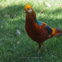 Золотой фазан :: Roman Dergunov