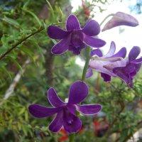 Орхидея,дичок. :: Лариса (Phinikia) Двойникова