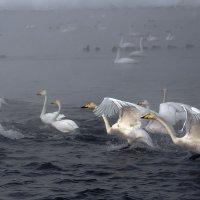 Как лебеди хороши, в водах зимнего залива 8 :: Сергей Жуков