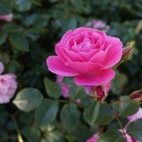 Просто роза :: Алёна Савина