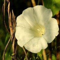 цветок :: оксана