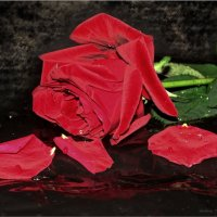 Роняла роза лепестки :: °•●Елена●•° Аникина♀