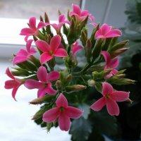 Цветок каланхое :: Юлия