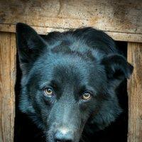 Черный Бим черное ухо... :: Роман Сулейманов