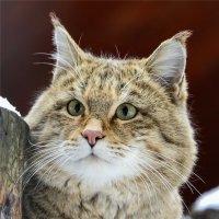 Степной кот :: cfysx