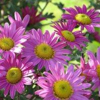 Прекрасен сад цветущих хризантем :: Татьяна Смоляниченко