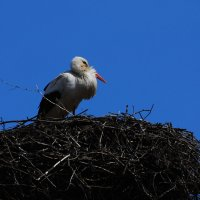 аист :: linnud