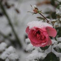Встреча с первым снегом.... :: Tatiana Markova