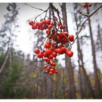 Ягод красные рубины.. :: Любовь Чунарёва