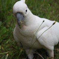 Любимые цветы какаду :: Антонина