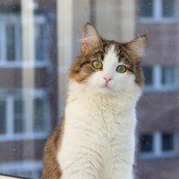 Соседская кошка смотрит в окошко :: Наталья Каравай