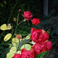Роза и осень... :: Galina Dzubina