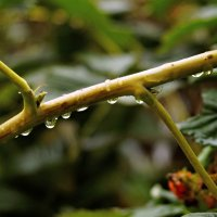 Капли дождя... :: владимир