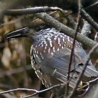 Осторожная птица кедровка, или ореховка :: Екатерина Торганская