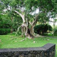Очень старое дерево. :: Ольга Васильева