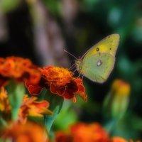 Украшение цветка. :: Виктор Иванович