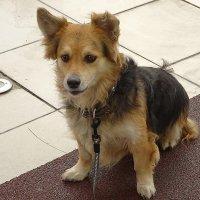 Подсмотренные эмоции собачки, ждущей хозяина из магазина :: Маргарита Батырева