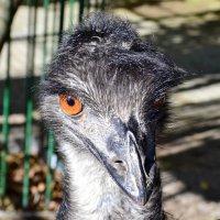 Потешная рожица у страуса :: Виктор Шандыбин