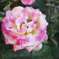 Прекрасная роза :: Вера Щукина