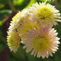 Пахнет хризантемами в саду :: Татьяна Смоляниченко