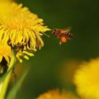 Вдруг к нему, жжужжа крылами,  пчёл летит, подарочек несёт! :: Владимир Гилясев