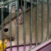 Покупаем крысу на Центральном рынке Луганска, как содержать её дома :: Наталья (ShadeNataly) Мельник