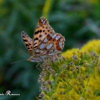Бабочка на цветке :: Марина Романова