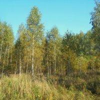 Молодой осенний лес :: Сергей Уткин