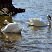 Лебеди остались зимовать 3 :: донченко александр