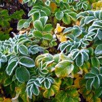 The first frost. Первый заморозок. :: Tatiana Golubinskaia