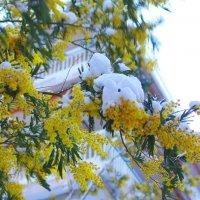 Мимоза под снегом. :: Оля Богданович