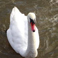 """Лебеди в городе. Иду на """"таран."""" :: Маргарита Батырева"""